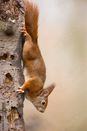 Montage in der Fensternische Eichhornchen Red Squirrel