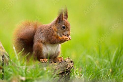 Printed kitchen splashbacks Squirrel Red Squirrel