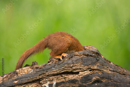 Recess Fitting Squirrel Red Squirrel