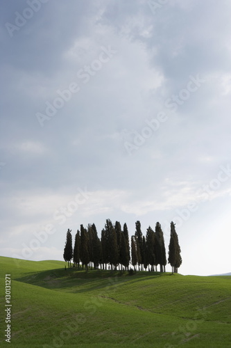Cypresses in corn field near San Quirico, Val D'Orcia, Tuscany, Italy, Europe