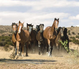 Herd of mixed breed mares gallops to us