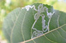 Leaf Miner Track