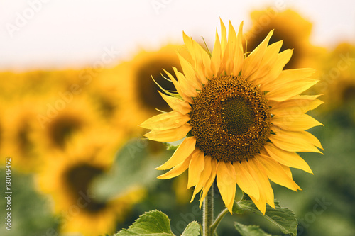 Deurstickers Zonnebloem Bright yellow sunflower in field
