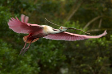 Roseate Spoonbill Flies To Its Nest With A Stick In Its Bill.