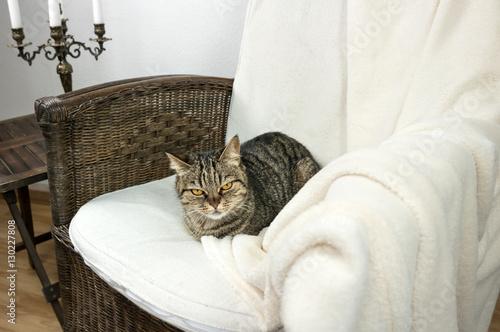 Keuken foto achterwand Kat European striped cat sleeping in a chair