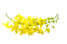 Flowers Of Cassia Fistula Or Golden Shower, National Tree On White Background.Saved With Clipping Path.