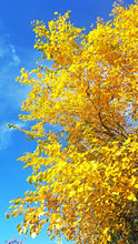 Yellow Autumn Tree On A Blue Sky Background, Bright Color Photography