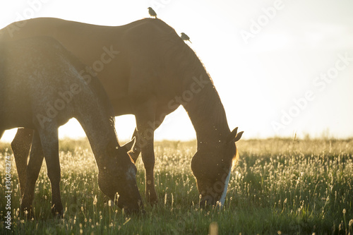 Photo  Tiger Horses graze on rise at sunset