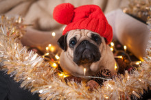 Christmas Dog Pug Hat Garland Cone Tinsel In Bed On Christmas Holidays