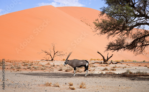 Papiers peints Corail oryx on sand