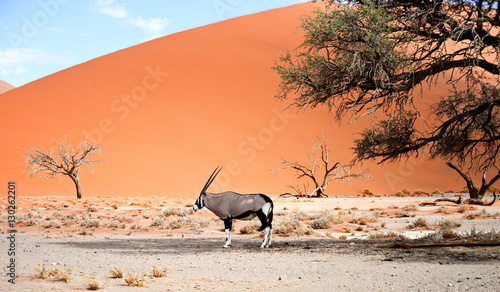 Deurstickers Koraal oryx on sand