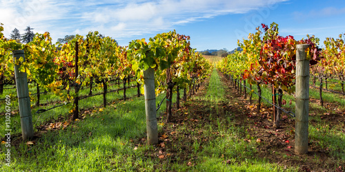 Wall Murals Vineyard colorful vineyard in autumn