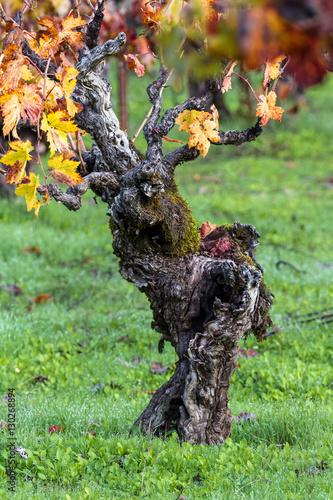 Valokuva  gnarly old grape vine