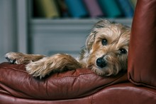 Dog Relaxes In Chair