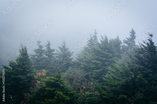 Papiers peints Forets Pine trees in fog, at Grandfather Mountain, North Carolina.