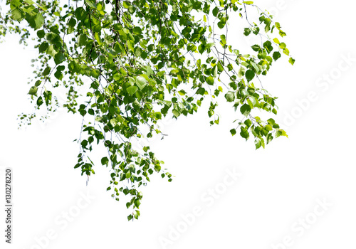 Birch twigs with the young green shining leaves hang down isolated