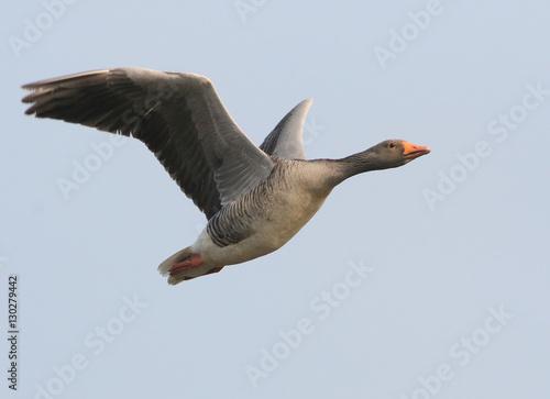 Mature European Greylag Goose (Anser Anser) in fast flight