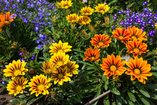 Gazania Flowers In The Summer ...