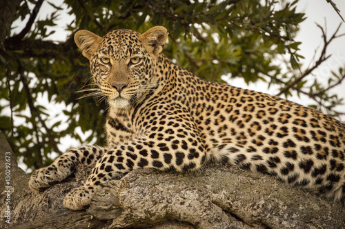 Poster Leopard A beautiful female leopard gazes at viewer from a tree limb in Kenya