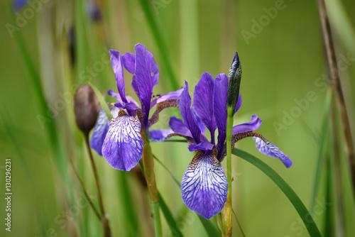 Poster Iris Wild violet iris flower growing in nature, summer seasonal floral background