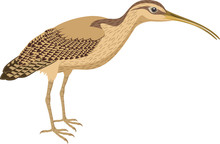 Vector Long Billed Curlew