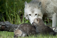 Arctic Wolf Mother Watching Over Puppies