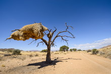 A Particularly Large Social Weaver Bird Nest Growing In A Dead Acacia Tree, NamibRand, Namib Desert, Namibia