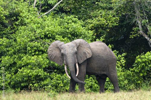 African forest elephant (Loxodonta cyclotis) bull standing