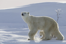 Polar Bear (Ursus Maritimus) And Cubs, Wapusk National Park, Churchill, Hudson Bay, Manitoba, Canada