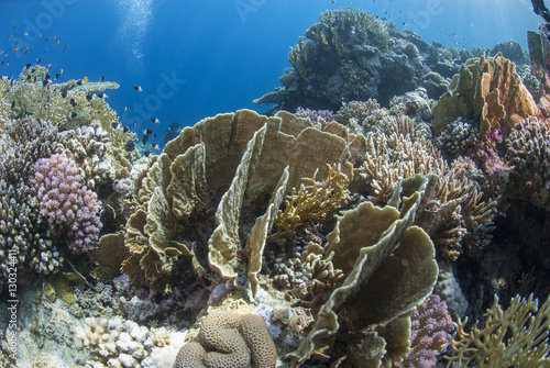 Tropical coral reef scene in natural lighting, Ras Mohammed National Park, off Sharm el Sheikh, Sinai, Egypt, Red Sea, Egypt, North Africa, Africa