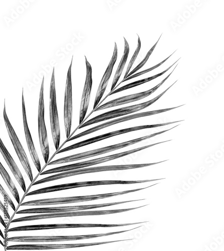 Fotografie, Tablou  black leaves of palm tree on white background
