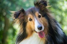 Happy Collie Dog
