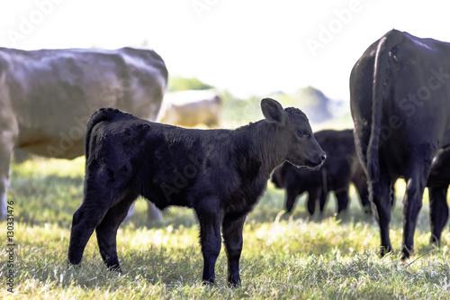 Black Angus crossbred calf in herd Canvas-taulu