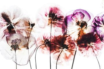 Fototapetadry poppy flowers