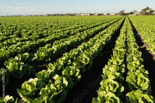 Fotografia  Urban Crop Field Perfect Green Produce Leaf Lettuce