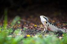 Australian Eastern Water Dragon (Physignathus Lesueurii) In Brisbane Botanical Gardens, Brisbane, Queensland