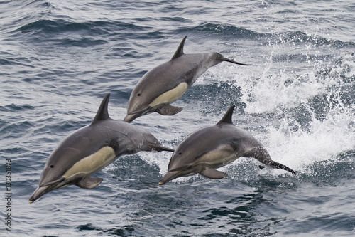 Long-beaked common dolphin (Delphinus capensis), Isla San Esteban, Gulf of California (Sea of Cortez), Baja California, Mexico, North America