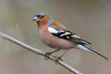 Spring Songbird Chaffinch Sitt...