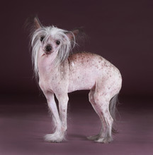 Crested Chinese Dog