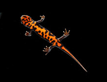 Triton Salamander
