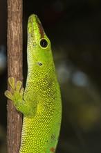 Madagascar Giant Day Gecko (Phelsuma Madagascariensis Grandis), Madagascar