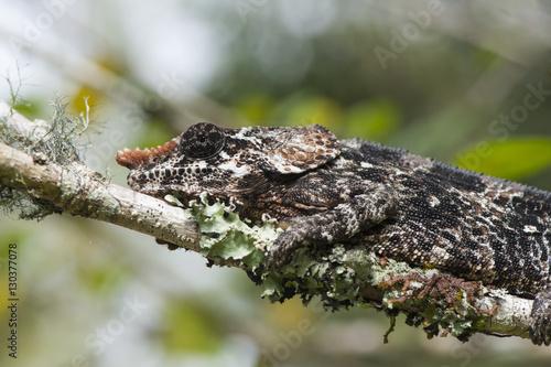 Elephant-eared Chameleon (short-horned Chameleon) (Calumma brevicornis), Madagascar, Africa