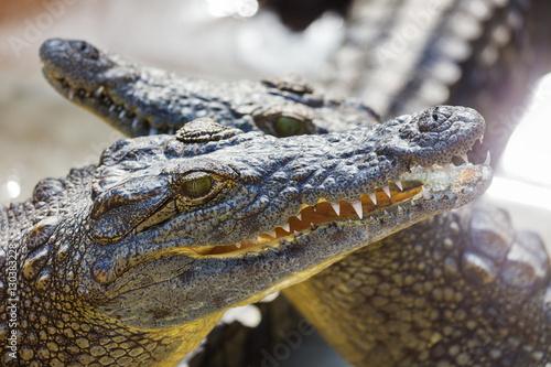 Garden Poster Crocodile Crocodile lies on the bank of lake
