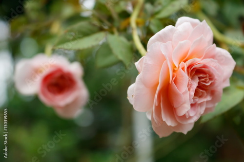 Closeup of Abraham darby rose, English rose breeder by David Austin Poster