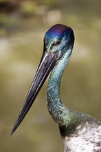 Black-necked Stork, Queensland