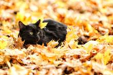 Cute Black Cat On Leaves In Autumn Park