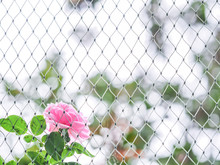Pink Rose Behind The Net. Concepts And Ideas For Finding Freedom