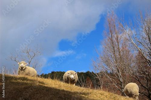 Poster  羊と青空
