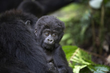 Portrait Of Wild Free Baby Mountain Gorilla