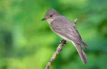 Spotted Flycatcher Perched On A Lichen Branch